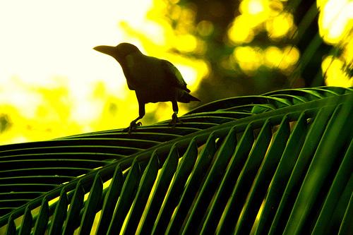 Crow on a Coconut Palm